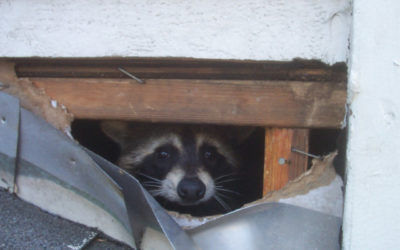 Raccoon biology and information