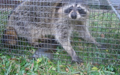 How to trap raccoons