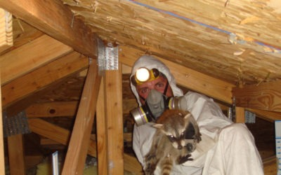 How to remove raccoon in the attic
