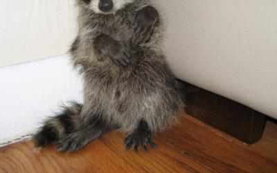 How to kill raccoons
